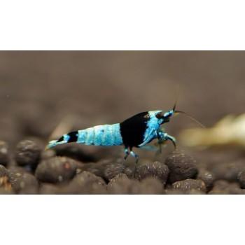 Taiwan Bee Tai Mosura Black...