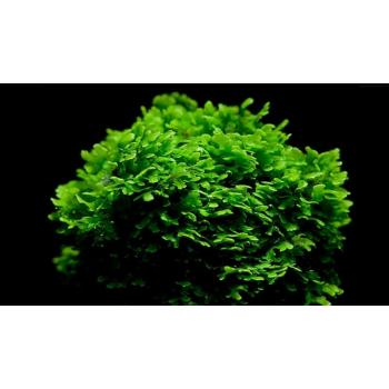PELIA -Monosolenium tenerum...