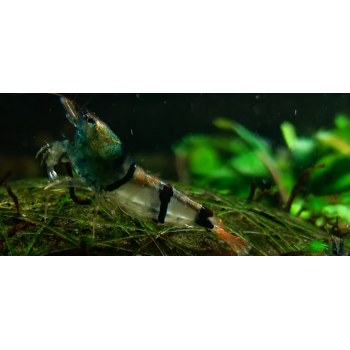 Caridina Trifasciata