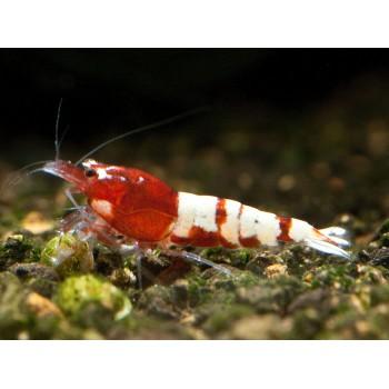 Pinto red taiwan bee