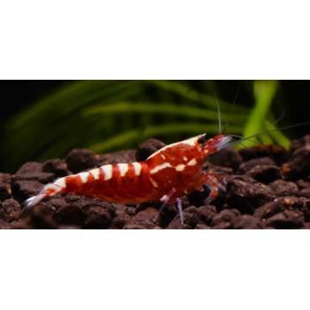 GALAXY FISHBONE RED low