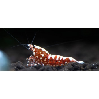GALAXY FISHBONE RED medium